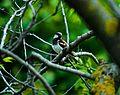 Sparrow in the woods.jpg