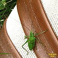 Speckled bush cricket (NH266) (29527873623).jpg