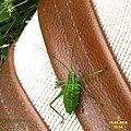 Speckled bush cricket (NH266) (29527873623).jpg
