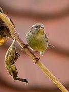Sperling Weibchen-20201025-RM-163340.jpg