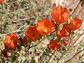 Sphaeralcea ambigua 16.jpg