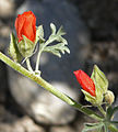 Sphaeralcea grossulariifolia 4.jpg