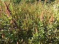 Spiraea salicifolia - Viote 03.jpg