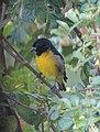 Sporaga xanthogastra Jilguero pechinegro Yellow-bellied Siskin (male) (16818922229).jpg