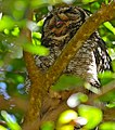 Spotted Eagle Owl (Bubo africanus) male (32928572696).jpg