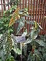 Spotted begonia.jpg