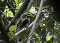 Spotted kingfisher (Actenoides lindsayi) (7184494790).jpg