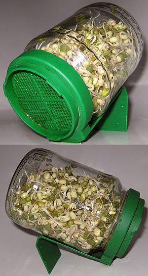 Sprouting - Sprouting mung beans in a glass sprouter jar with a plastic sieve-lid