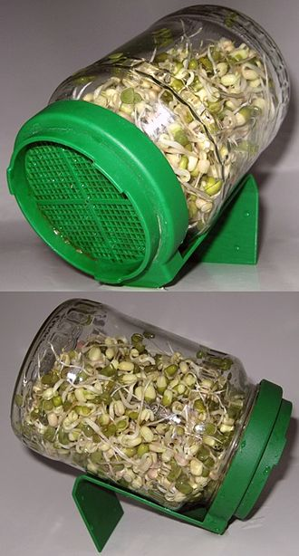 Mung bean sprout - Image: Sprouting mung beans in a jar