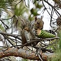 Squirrel (36127639150).jpg