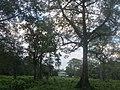 Standing among the talls at jaldapara national park.jpg