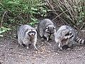 Stanley Park - Raccoon (4469272732).jpg