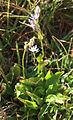 Star felwort Swertia perennis plant.jpg