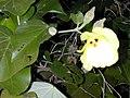 Starr-010206-0238-Hibiscus tiliaceus-flower-Kanaha Beach-Maui (24422799132).jpg