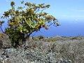 Starr-010714-0015-Bocconia frutescens-plant in dryforest-Auwahi-Maui (23904800294).jpg