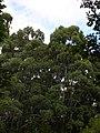 Starr-041024-0128-Eucalyptus sp-habit-Makawao Forest Reserve-Maui (24350493659).jpg