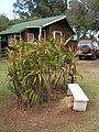 Starr-060916-8957-Cordyline fruticosa-habit-Makawao-Maui (24771972311).jpg