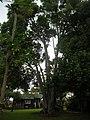 Starr-061105-9622-Cinnamomum camphora-habit-Makawao-Maui (24868272745).jpg