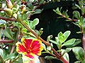 Starr-080103-1361-Portulaca umbraticola-flowers and leaves-Lowes Garden Center Kahului-Maui (24873348316).jpg