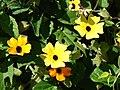 Starr-080219-2902-Thunbergia alata-mixed flowers-Enchanting Floral Gardens of Kula-Maui (24878381956).jpg