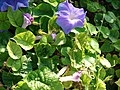 Starr-080531-4694-Ipomoea indica-Flower and leaves-Captain Brooks Sand Island-Midway Atoll (24884294456).jpg