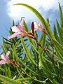 Starr-080531-4793-Nerium oleander-pink flowers and leaves-Charlie barracks Sand Island-Midway Atoll (24283877243).jpg