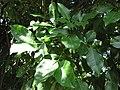 Starr-091104-9195-Melicoccus bijugatus-leaves-Kahanu Gardens NTBG Kaeleku Hana-Maui (24358185134).jpg