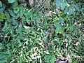 Starr-091104-9308-Oplismenus hirtellus-habit-Kahanu Gardens NTBG Kaeleku Hana-Maui (24621378659).jpg