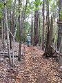 Starr-091115-1313-Fraxinus uhdei-fall foliage and Forest on trail-Olinda-Maui (24694703340).jpg