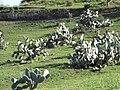 Starr-100331-4024-Opuntia ficus indica-habit in pasture-Kula-Maui (24987125486).jpg