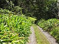 Starr-100601-6634-Hedychium coronarium-habit along road-Flume Rd Waikamoi-Maui (24743824960).jpg
