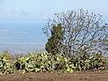 Starr-101102-9452-Opuntia ficus indica-fruiting habit-Kula-Maui (24425752584).jpg