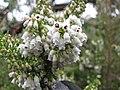 Starr-110609-6151-Erica lusitanica-leaves and flowers-Shibuya Farm Kula-Maui (25003528241).jpg