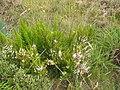 Starr-110705-4787-Erica lusitanica-flowering habit-Waiale Gulch-Maui (25071424206).jpg