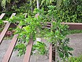 Starr-120312-3767-Wisteria floribunda-habit on trellis-Kula Botanical Garden-Maui (24842076980).jpg