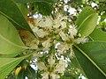 Starr-120510-5686-Lophostemon confertus-flowers-Ka Hale Olinda-Maui (25142426115).jpg