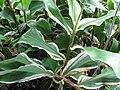 Starr-120613-9667-Zingiber zerumbet-variegated leaves-Lowes Nursery Kahului-Maui (25051988701).jpg
