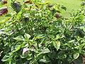 Starr-121108-0716-Amaranthus tricolor-habit-Pali o Waipio-Maui (25195991875).jpg