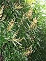 Starr-130312-2209-Mangifera indica-Nam doc mai flowers-Pali o Waipio Huelo-Maui (25206934745).jpg