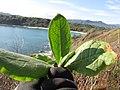 Starr-130320-3301-Nicotiana tabacum-seedling-Mokolea Pt Kilauea Pt NWR-Kauai (25182695186).jpg
