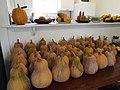 Starr-131002-2360-Cucurbita moschata-harvested fruit-Hawea Pl Olinda-Maui (25227257025).jpg