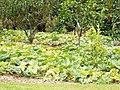 Starr-131002-2376-Cucurbita moschata-habit in orchard-Hawea Pl Olinda-Maui (24931679090).jpg