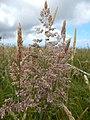 Starr-140602-0606-Holcus lanatus-seedhead-Olinda-Maui (24875186209).jpg