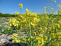 Starr-150328-0642-Brassica juncea-flowering habit-Northwest Eastern Island-Midway Atoll (25150653202).jpg