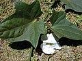 Starr 010720-0072 Thunbergia grandiflora.jpg