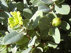 Gampi - Wikstroemia uva-ursi with unripe fruit