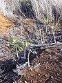 Starr 030828-0101 Hibiscus brackenridgei subsp. brackenridgei.jpg