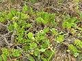 Starr 050519-1708 Tetramolopium rockii.jpg