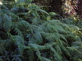 Starr 050713-7159 Diplopterygium pinnatum.jpg