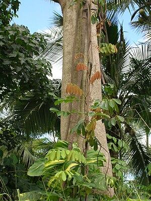 Derris elliptica (habit). Location: Oahu, Waim...